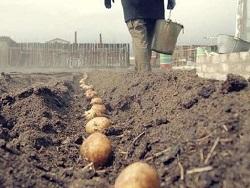 Штраф за выращивание картошки — уже не шутка, а реальность