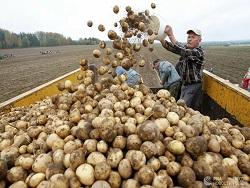 В аграрной сверхдержаве снова закончился картофель